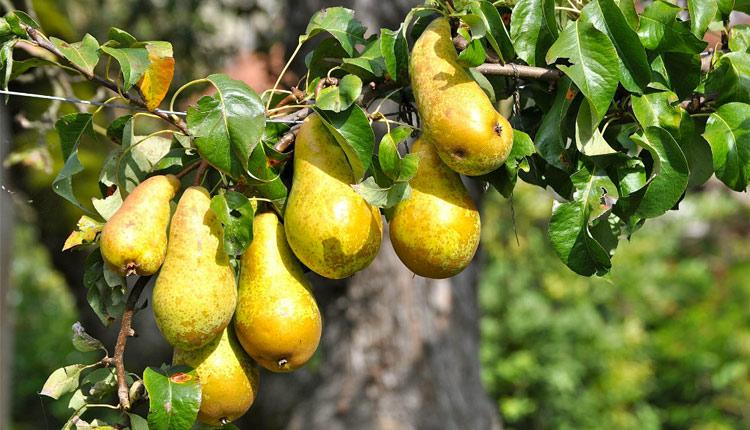 Comment choisir son arbre fruitier ?
