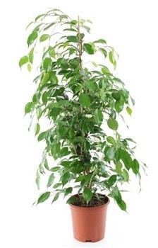 ficus plante