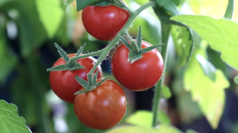 Planter des tomates: comment s'y prendre?
