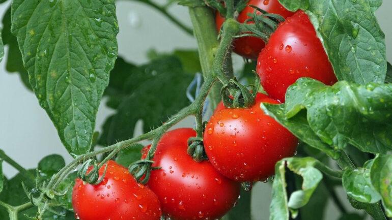 Comment remédier aux taches jaunes sur les feuilles de tomates ?